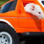 Las ratas pueden conducir automóviles (pequeños) y los científicos descubren que realmente les gusta